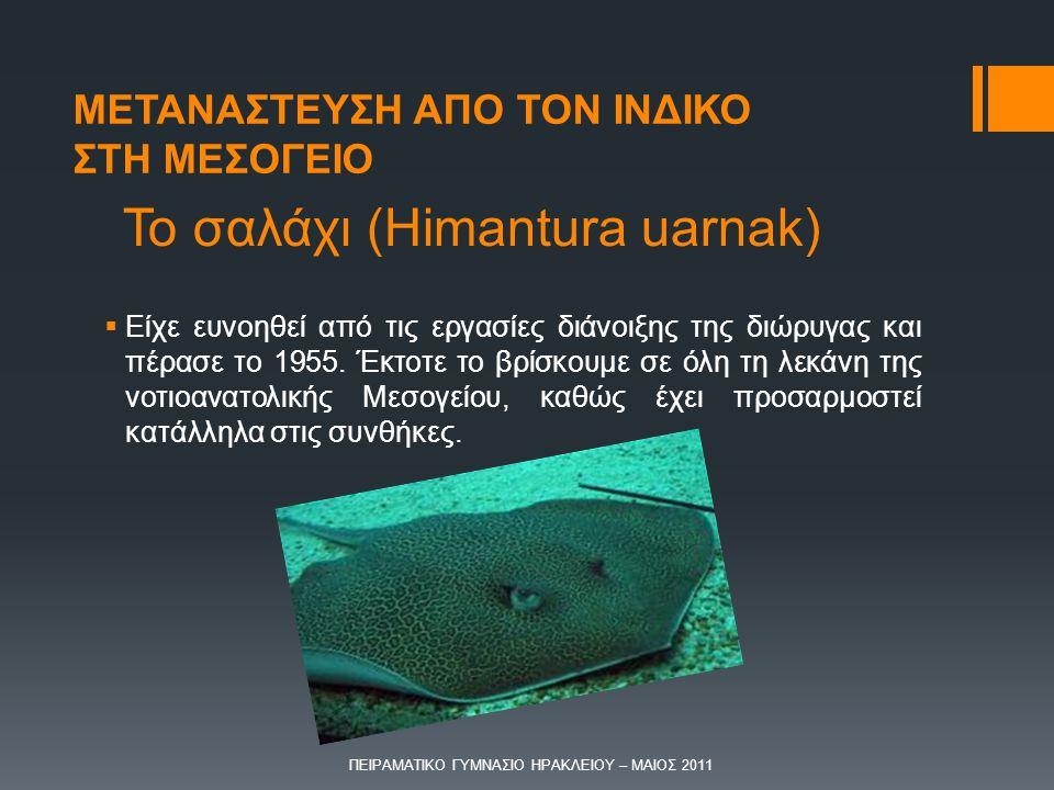 Το σαλάχι (Himantura uarnak)