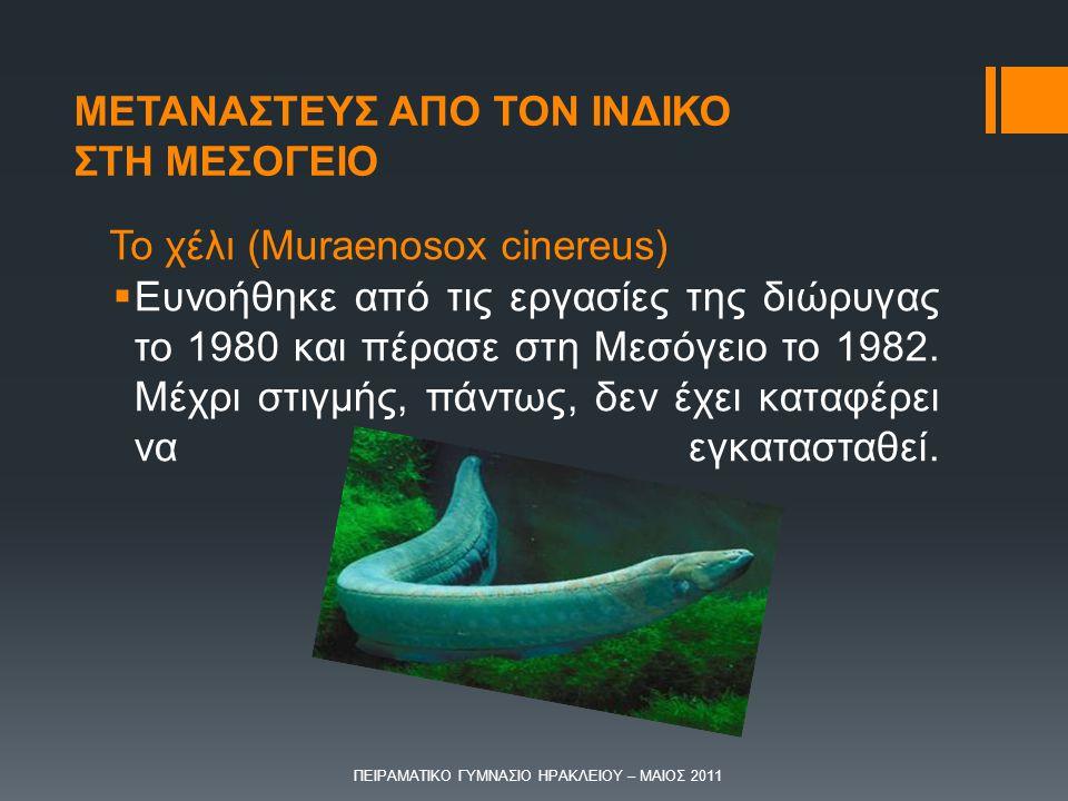 Το χέλι (Muraenosox cinereus)