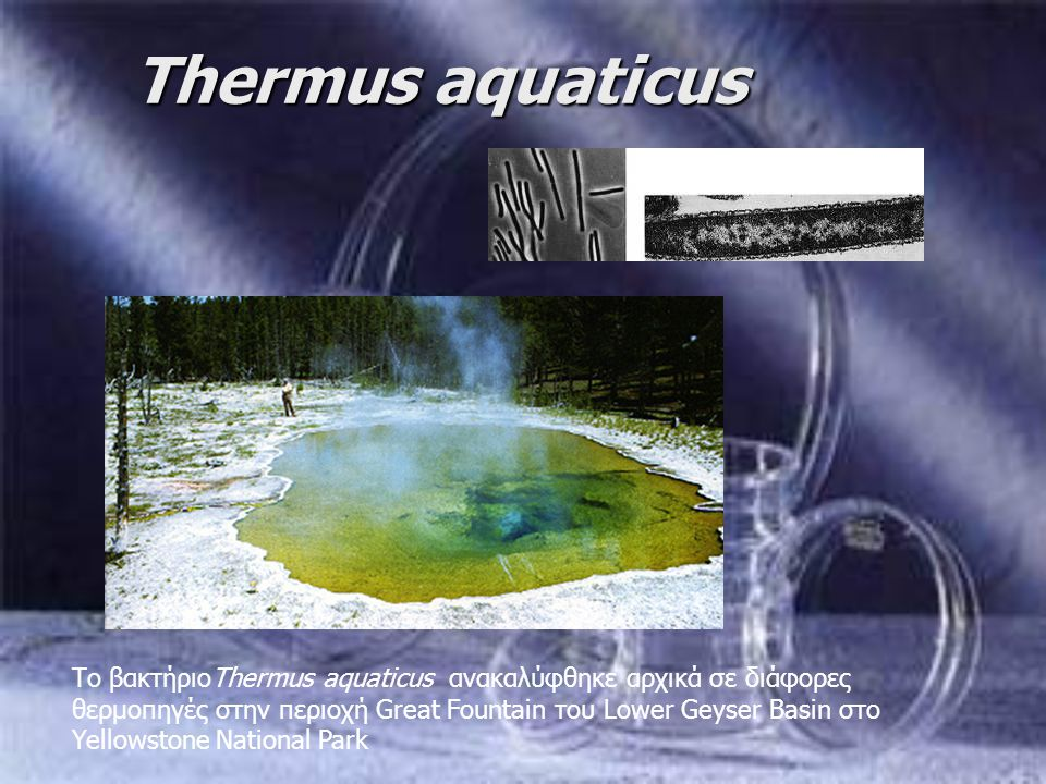 Thermus aquaticus