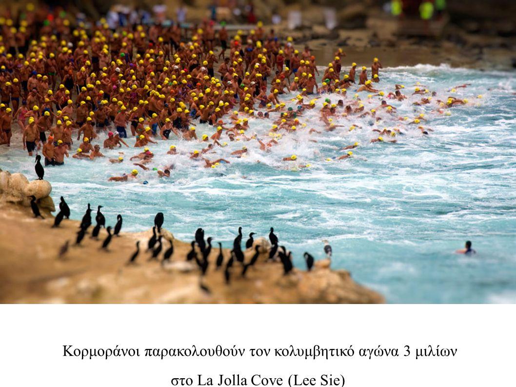 Κορμοράνοι παρακολουθούν τον κολυμβητικό αγώνα 3 μιλίων