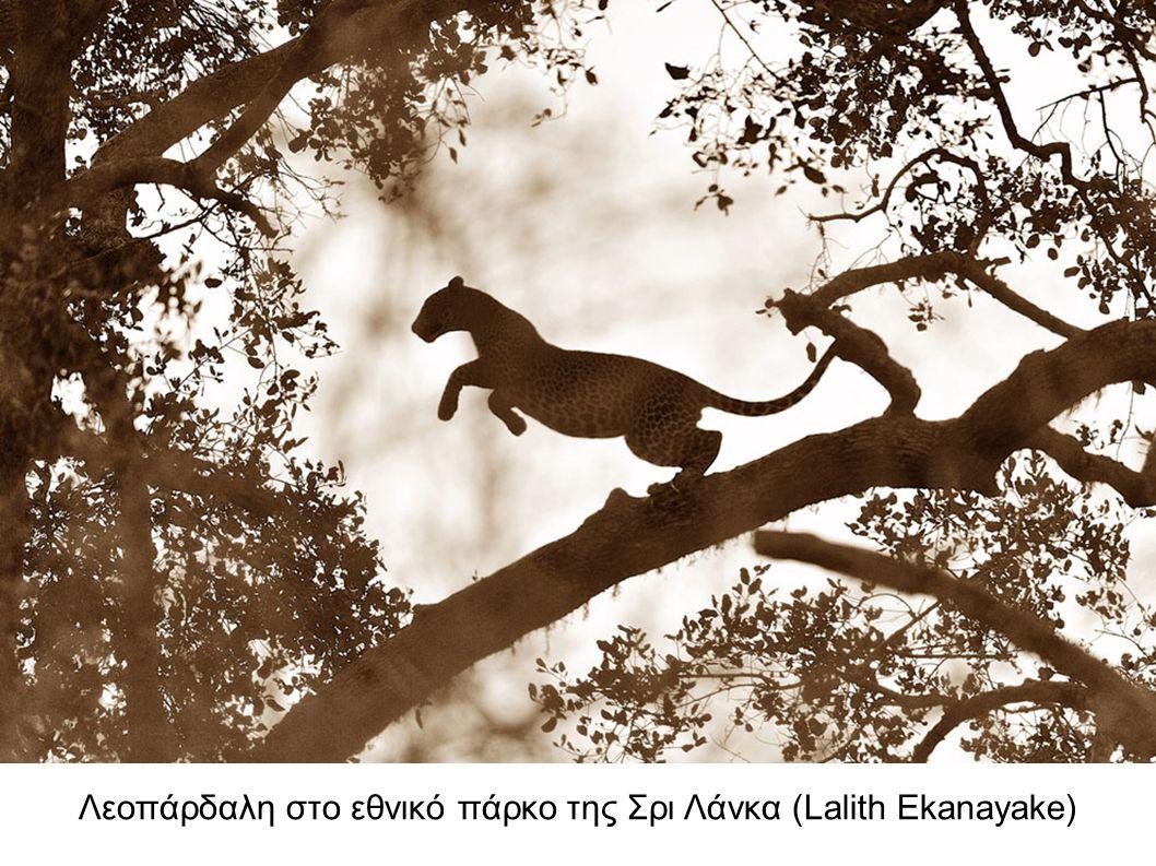 Λεοπάρδαλη στο εθνικό πάρκο της Σρι Λάνκα (Lalith Ekanayake)