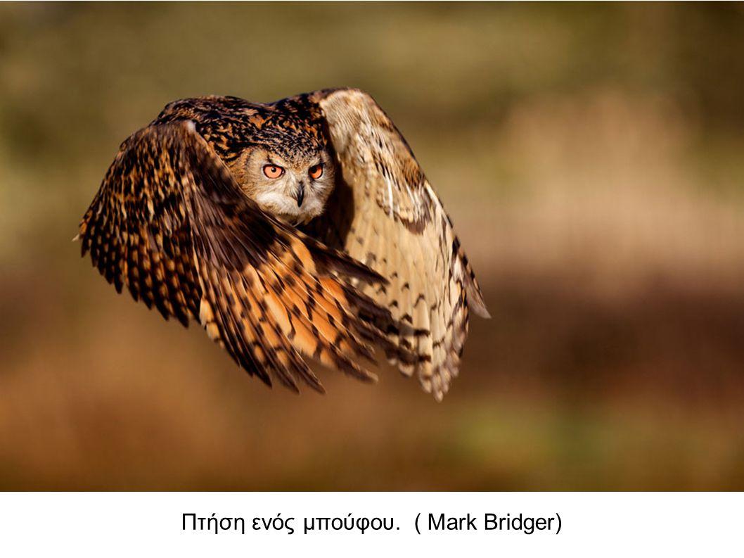 Πτήση ενός μπούφου. ( Mark Bridger)