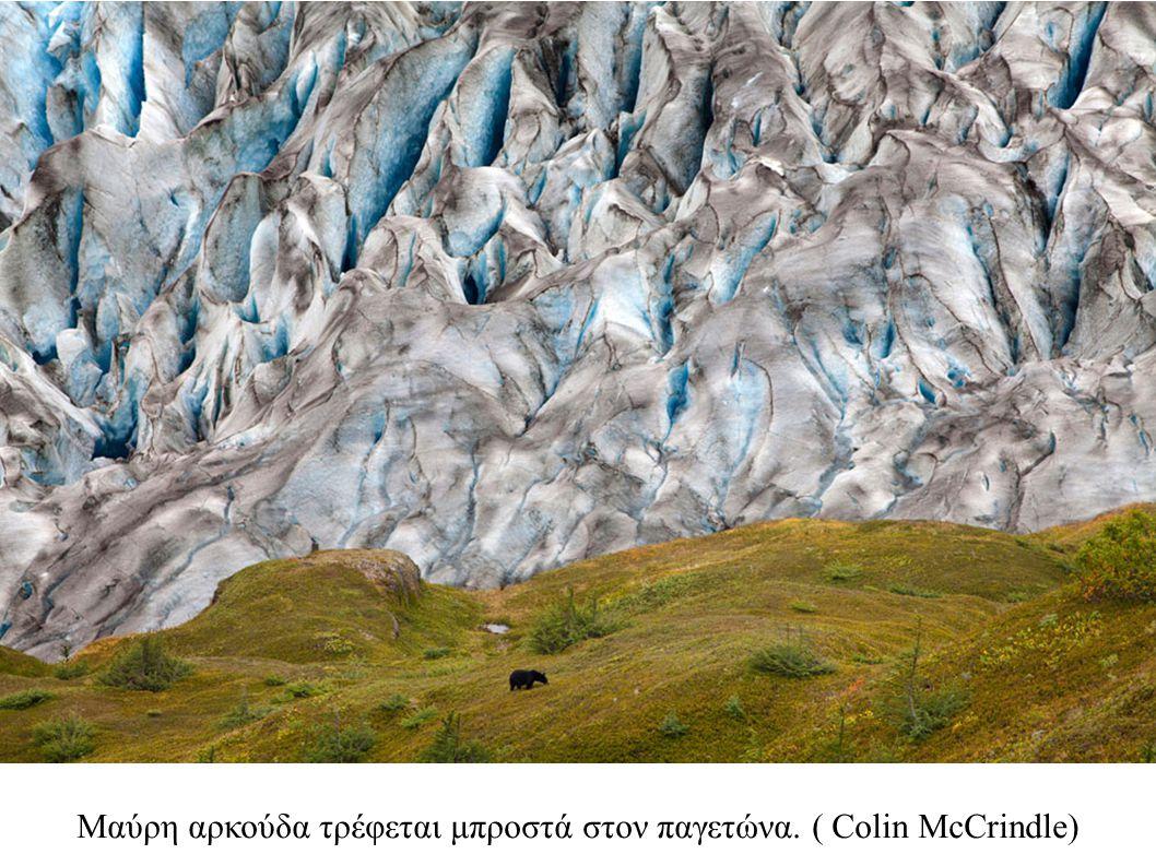 Μαύρη αρκούδα τρέφεται μπροστά στον παγετώνα. ( Colin McCrindle)