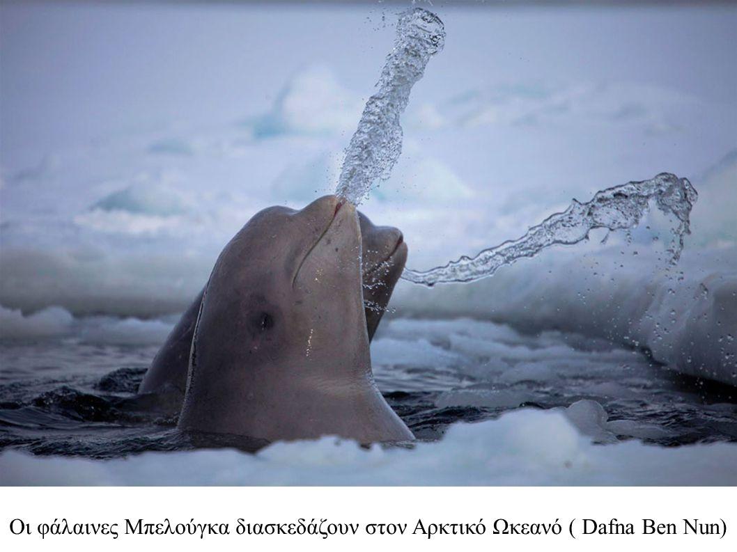 Οι φάλαινες Μπελούγκα διασκεδάζουν στον Αρκτικό Ωκεανό ( Dafna Ben Nun)