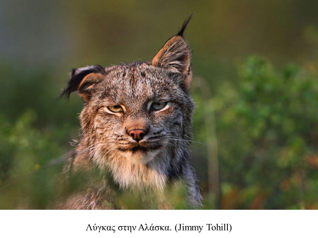 Λύγκας στην Αλάσκα. (Jimmy Tohill)
