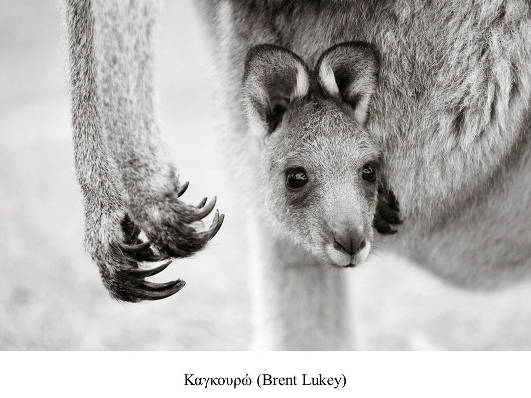 Καγκουρώ (Brent Lukey)