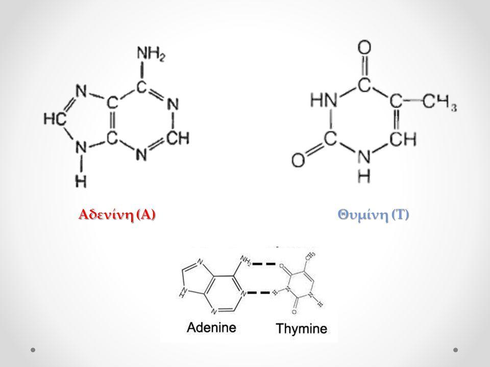 Αδενίνη (Α) Θυμίνη (Τ)