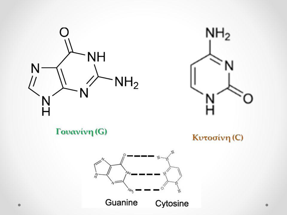 Γουανίνη (G) Κυτοσίνη (C)