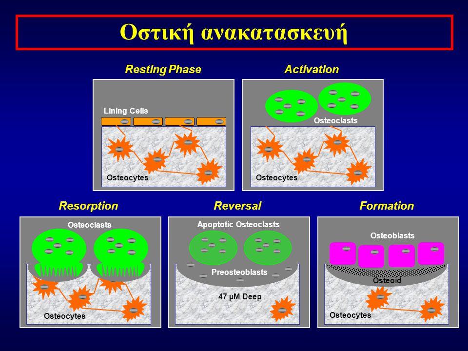 Οστική ανακατασκευή Resting Phase Activation Resorption Reversal