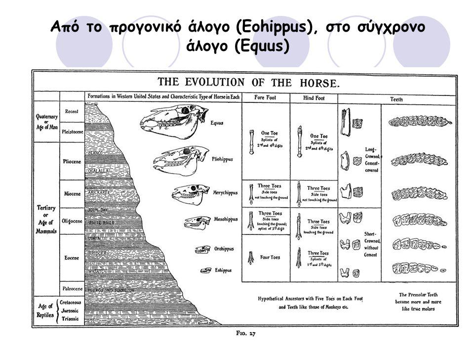 Από το προγονικό άλογο (Eohippus), στο σύγχρονο άλογο (Equus)