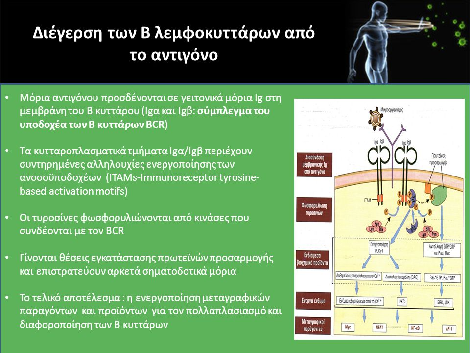Διέγερση των Β λεμφοκυττάρων από το αντιγόνο