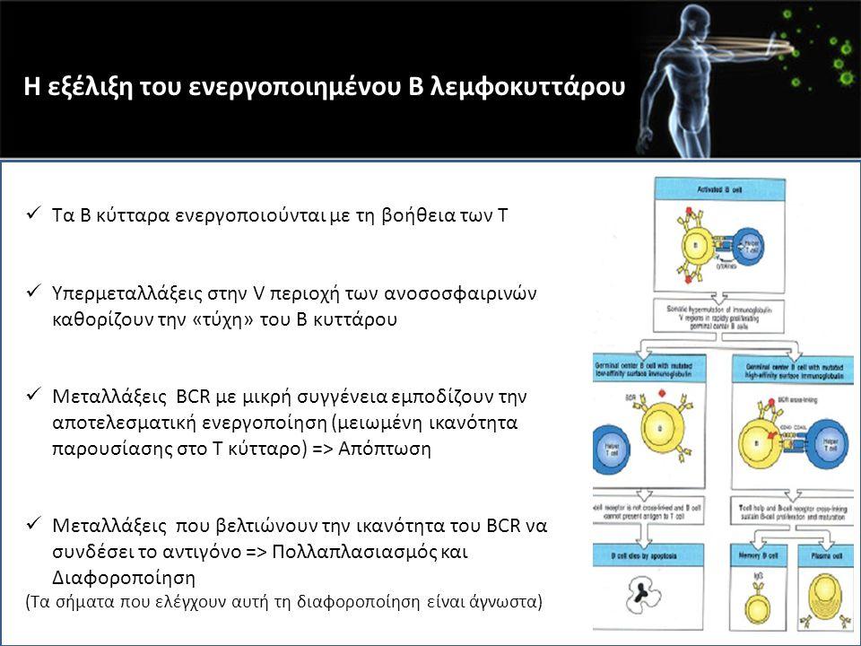 Η εξέλιξη του ενεργοποιημένου Β λεμφοκυττάρου