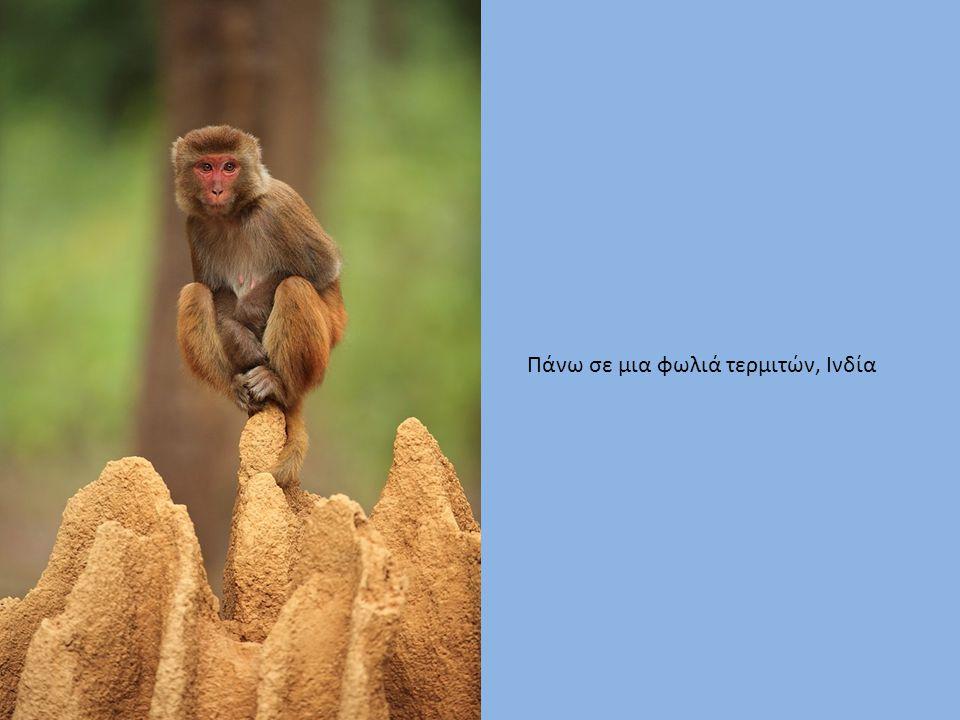Πάνω σε μια φωλιά τερμιτών, Ινδία