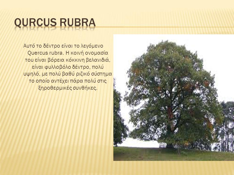 Qurcus rubra