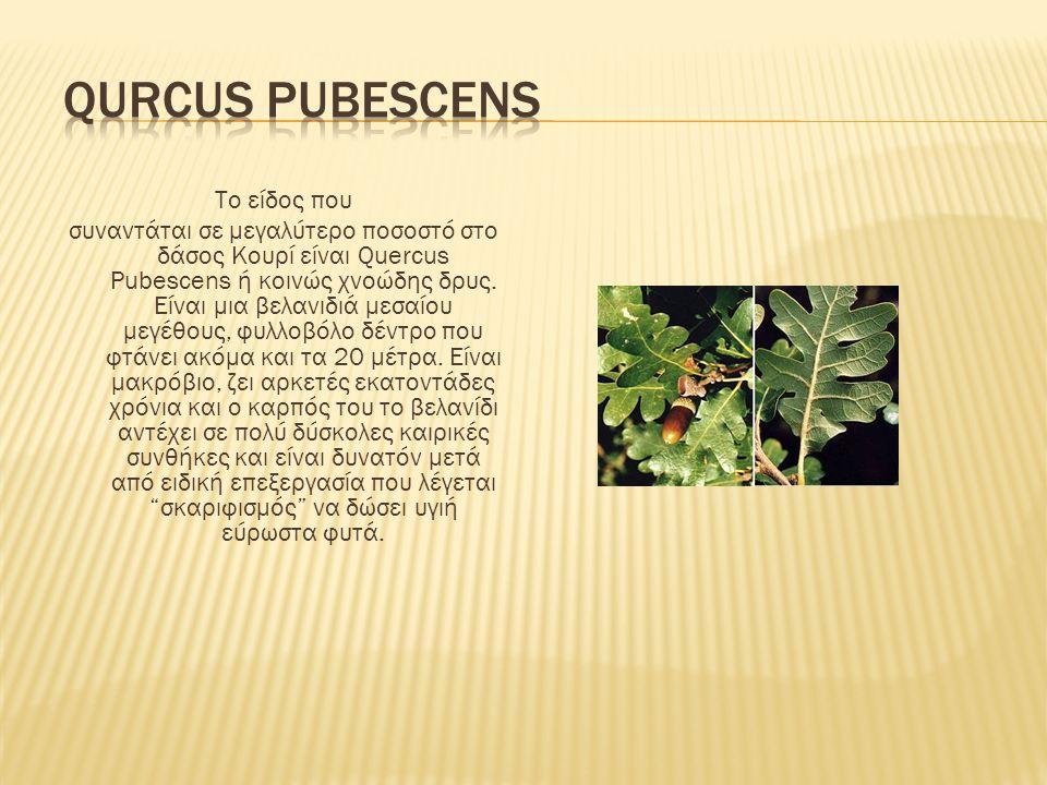 Qurcus pubescens Το είδος που