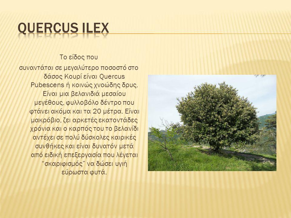 Quercus ilex Το είδος που