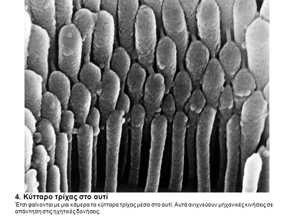 4. Κύτταρο τρίχας στο αυτί