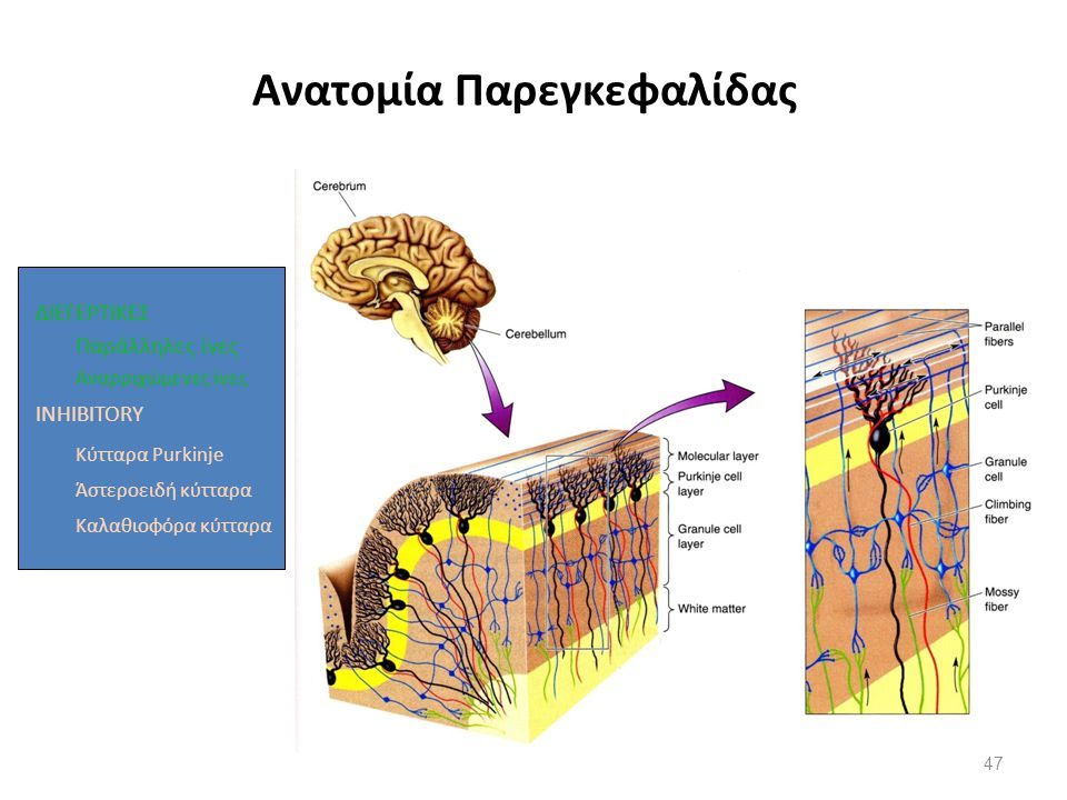 Ανατομία Παρεγκεφαλίδας