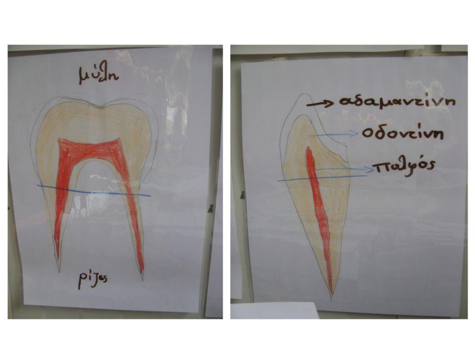 Ανατομία του δοντιού.