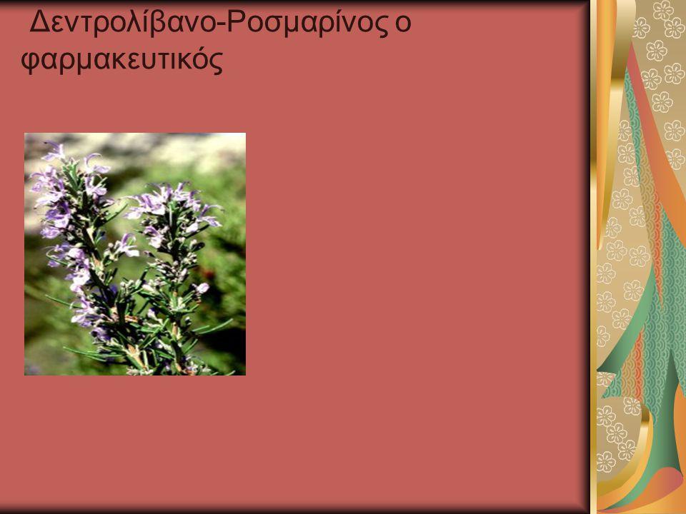 Δεντρολίβανο-Ροσμαρίνος ο φαρμακευτικός