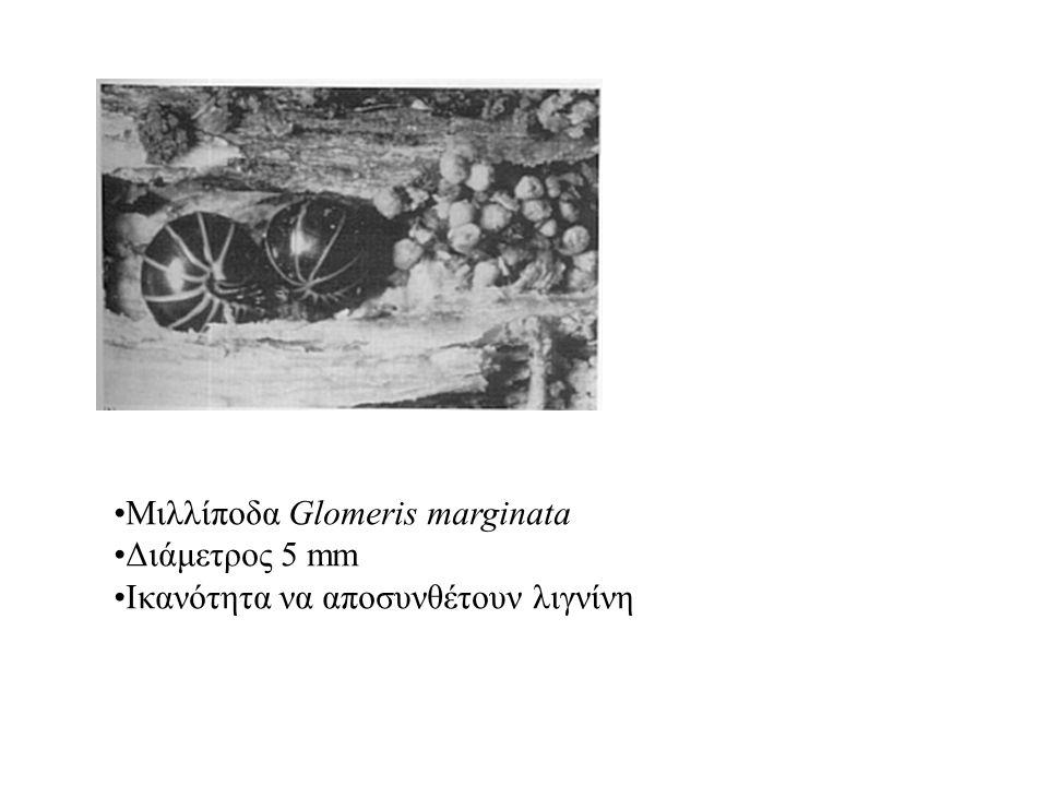 Μιλλίποδα Glomeris marginata