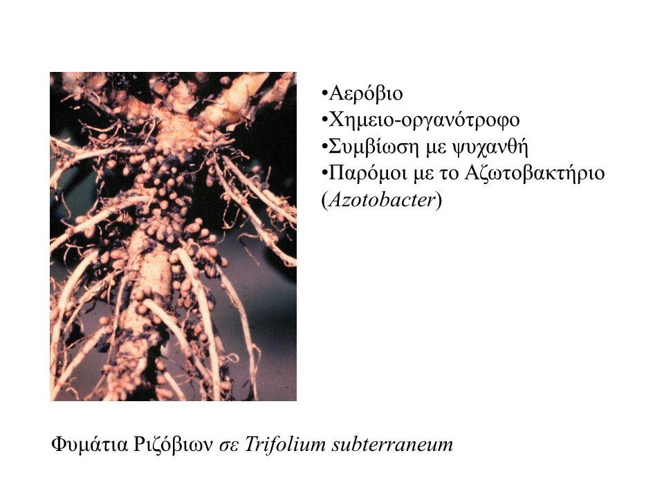 Φυμάτια Ριζόβιων σε Trifolium subterraneum