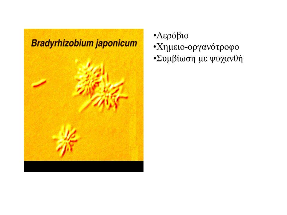 Αερόβιο Χημειο-οργανότροφο Συμβίωση με ψυχανθή