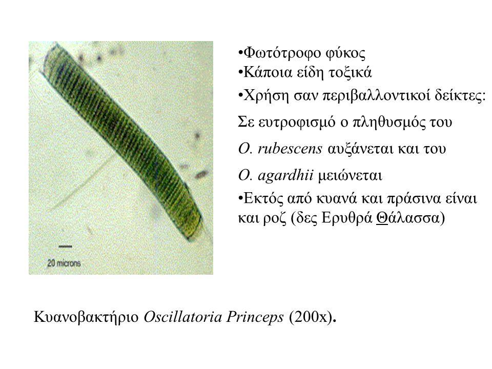 Κυανοβακτήριο Oscillatoria Princeps (200x).