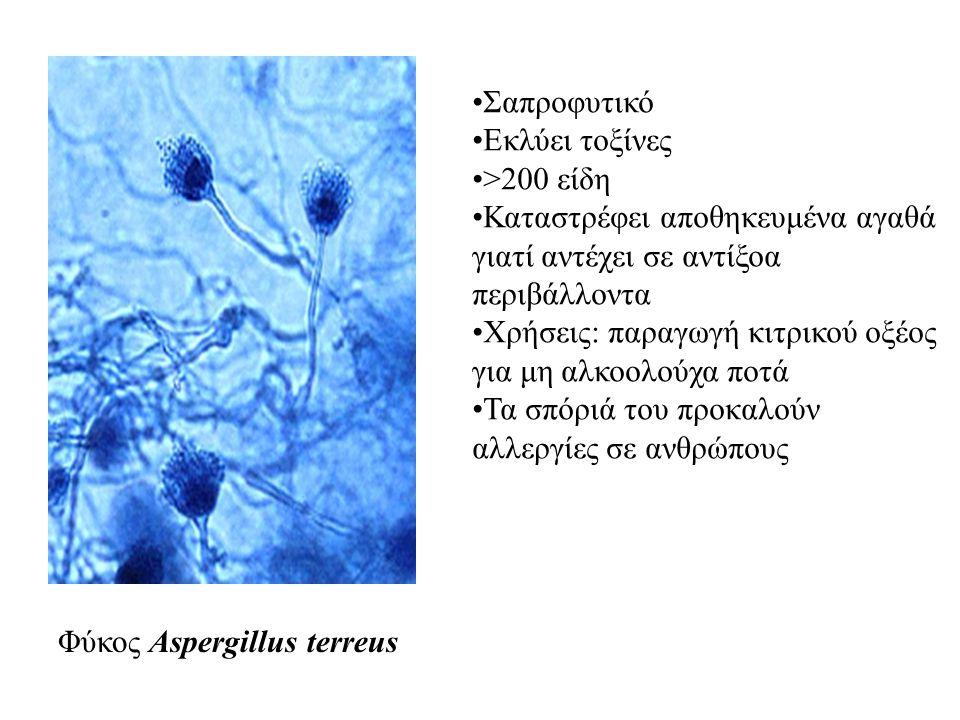 Φύκος Aspergillus terreus