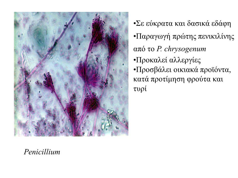 Penicillium Σε εύκρατα και δασικά εδάφη. Παραγωγή πρώτης πενικιλίνης. από το P. chrysogenum. Προκαλεί αλλεργίες.