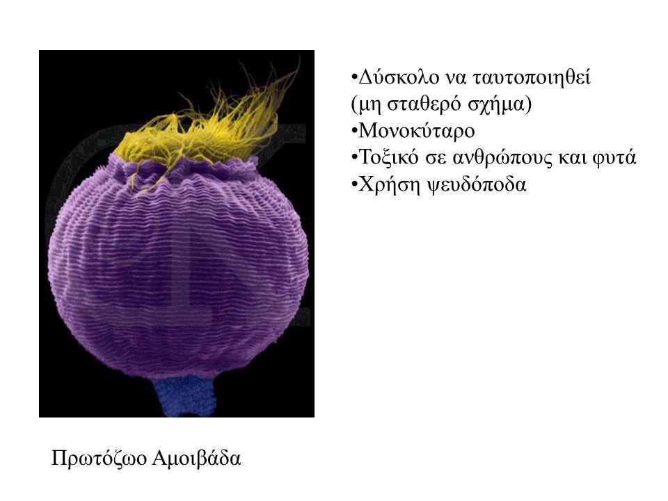 Πρωτόζωο Αμοιβάδα Δύσκολο να ταυτοποιηθεί. (μη σταθερό σχήμα) Μονοκύταρο. Τοξικό σε ανθρώπους και φυτά.