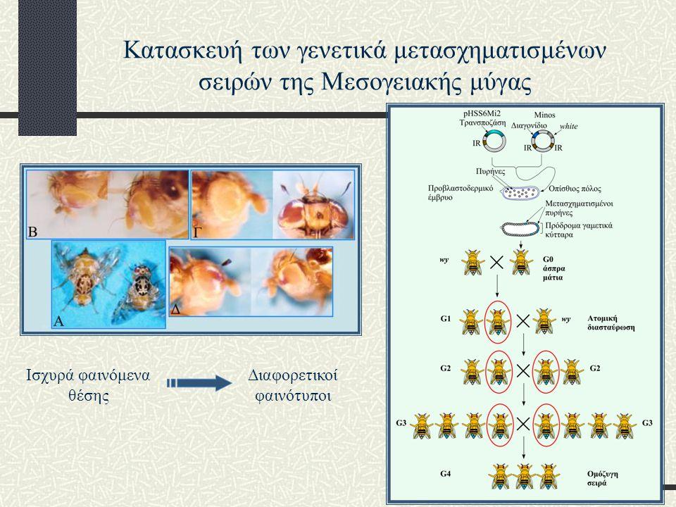 Κατασκευή των γενετικά μετασχηματισμένων σειρών της Μεσογειακής μύγας