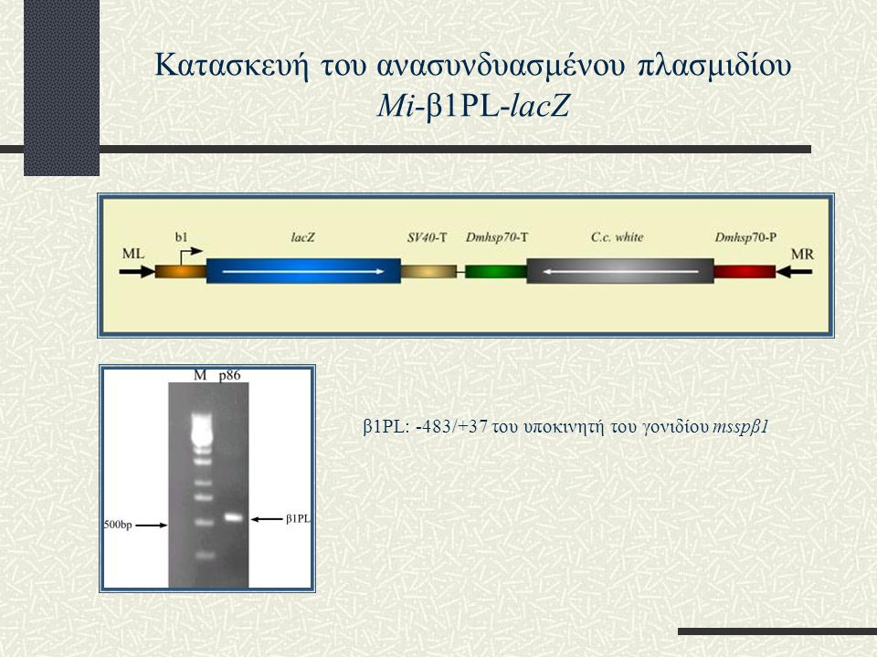 Κατασκευή του ανασυνδυασμένου πλασμιδίου Mi-β1PL-lacZ
