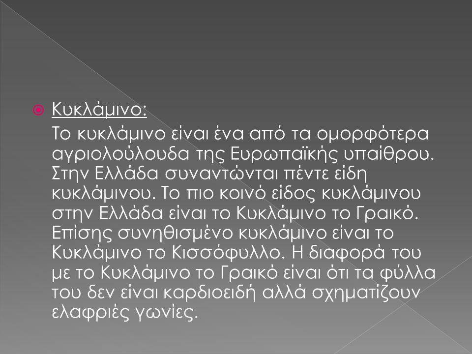 Κυκλάμινο: