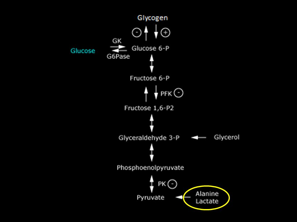 By far the best-known metabolic effect of cortisol and other glucocorticoids on metabolism is their ability to stimulate gluconeogenesis
