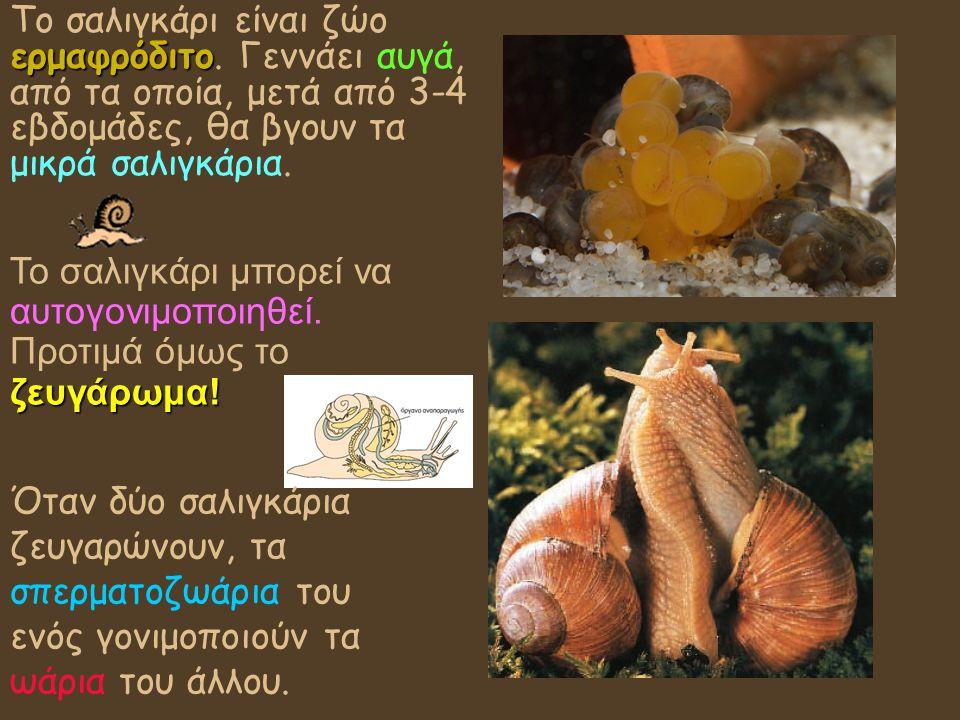 Το σαλιγκάρι είναι ζώο ερμαφρόδιτο