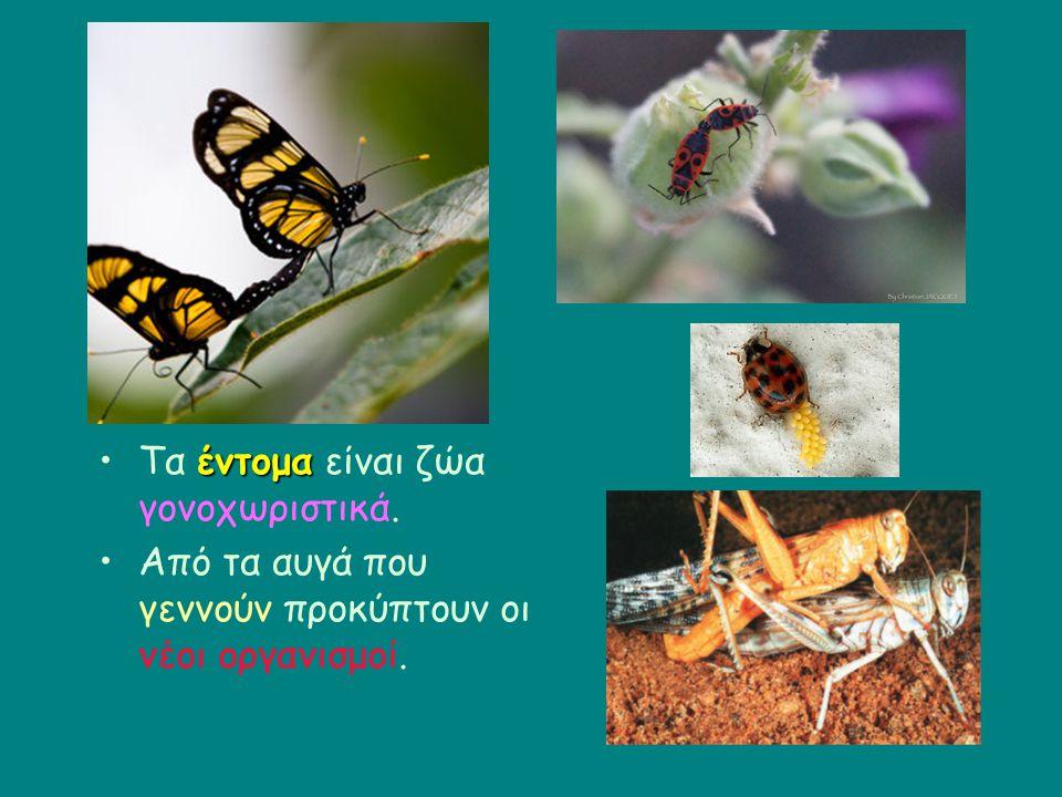 Τα έντομα είναι ζώα γονοχωριστικά.
