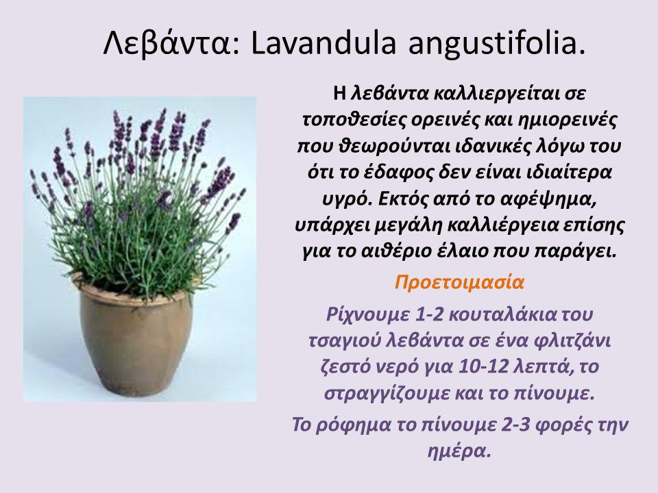 Λεβάντα: Lavandula angustifolia.