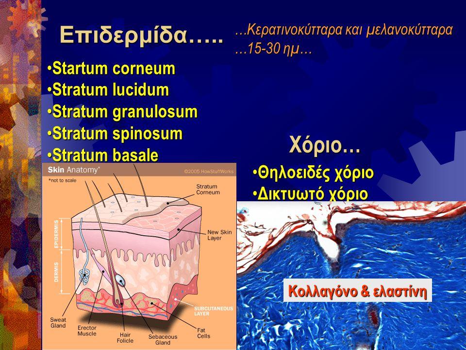Επιδερμίδα….. Χόριο… Startum corneum Stratum lucidum