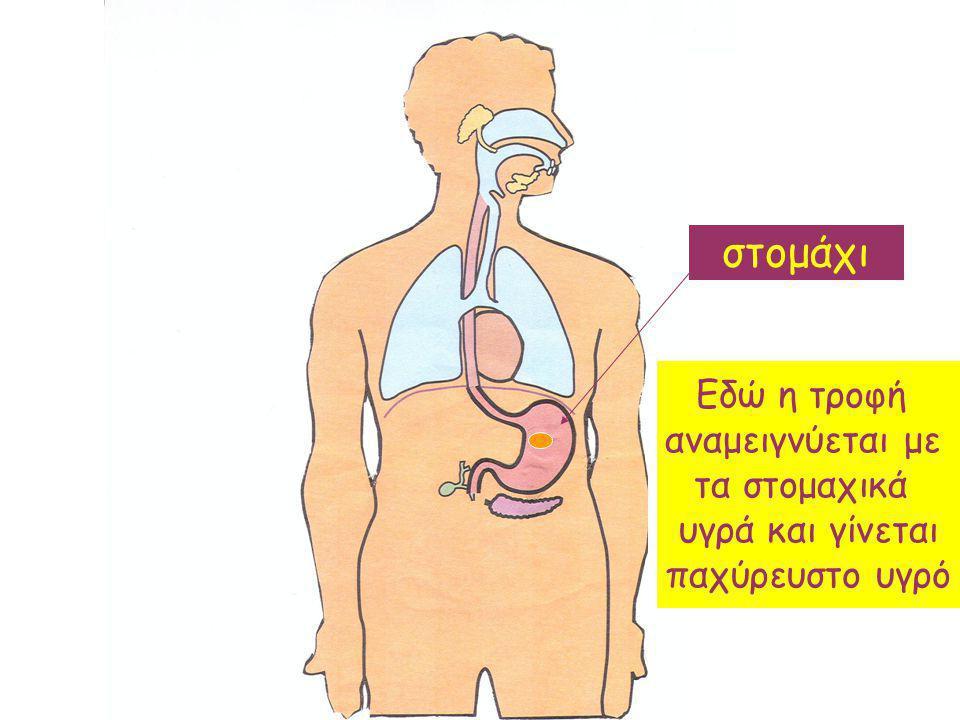 στομάχι Εδώ η τροφή αναμειγνύεται με τα στομαχικά υγρά και γίνεται