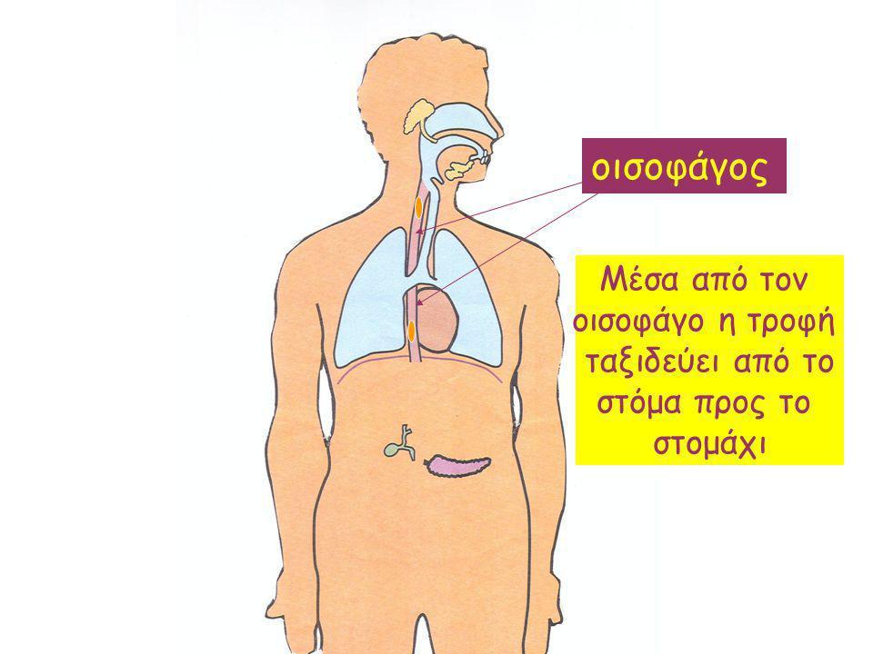 οισοφάγος Μέσα από τον οισοφάγο η τροφή ταξιδεύει από το στόμα προς το