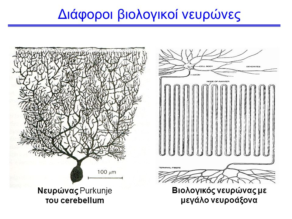 Διάφοροι βιολογικοί νευρώνες