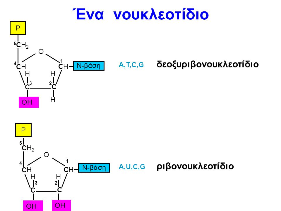 Ένα νουκλεοτίδιο δεοξυριβονουκλεοτίδιο ριβονουκλεοτίδιο P CH2 O