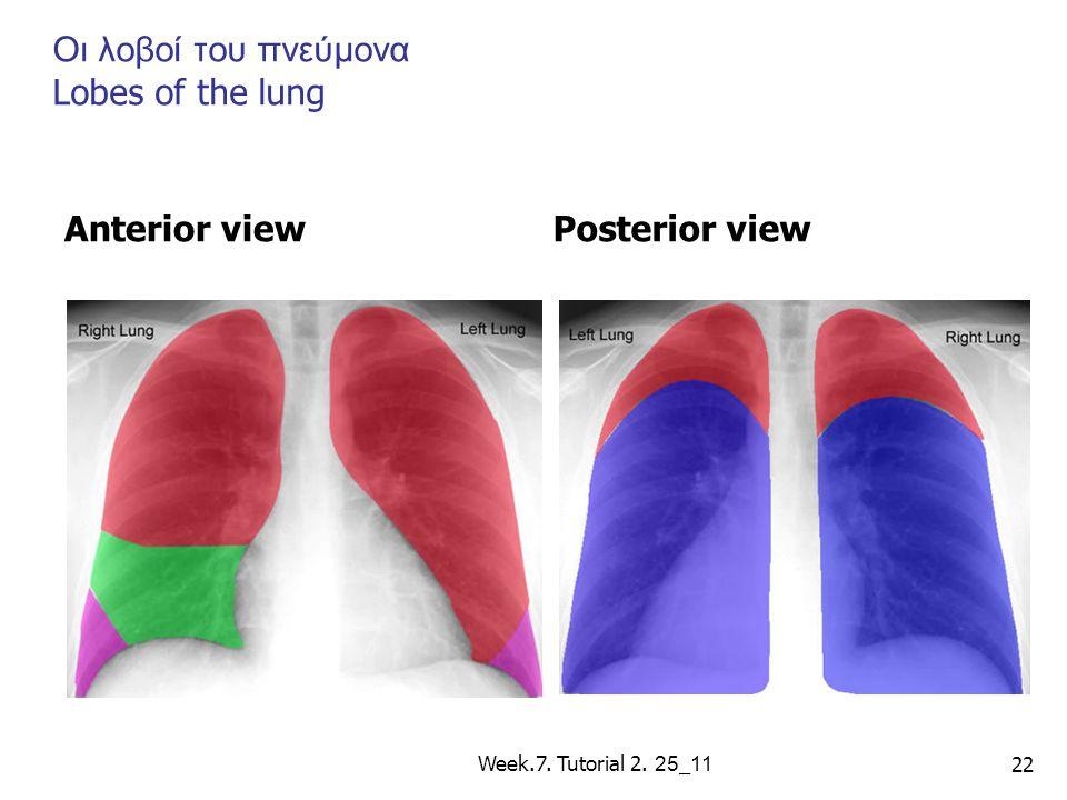 Οι λοβοί του πνεύμονα Lobes of the lung