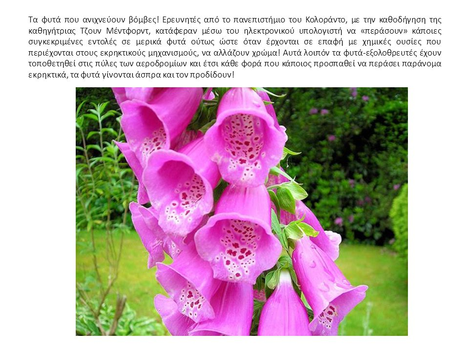 Τα φυτά που ανιχνεύουν βόμβες
