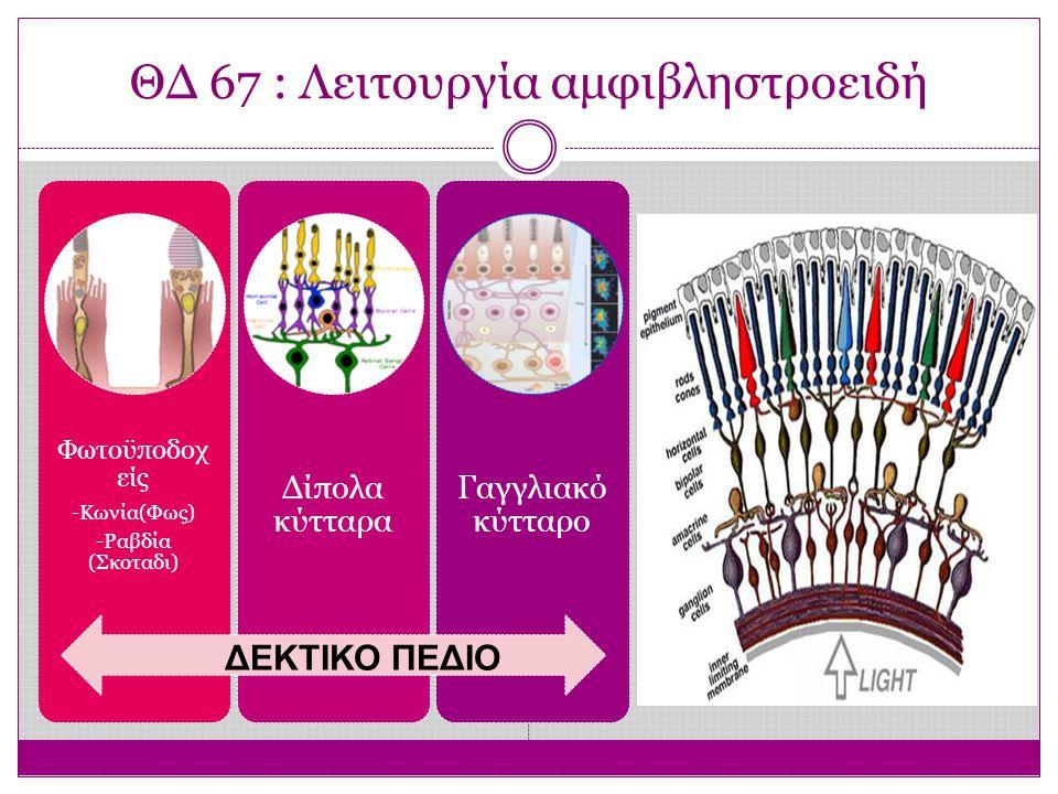 ΘΔ 67 : Λειτουργία αμφιβληστροειδή