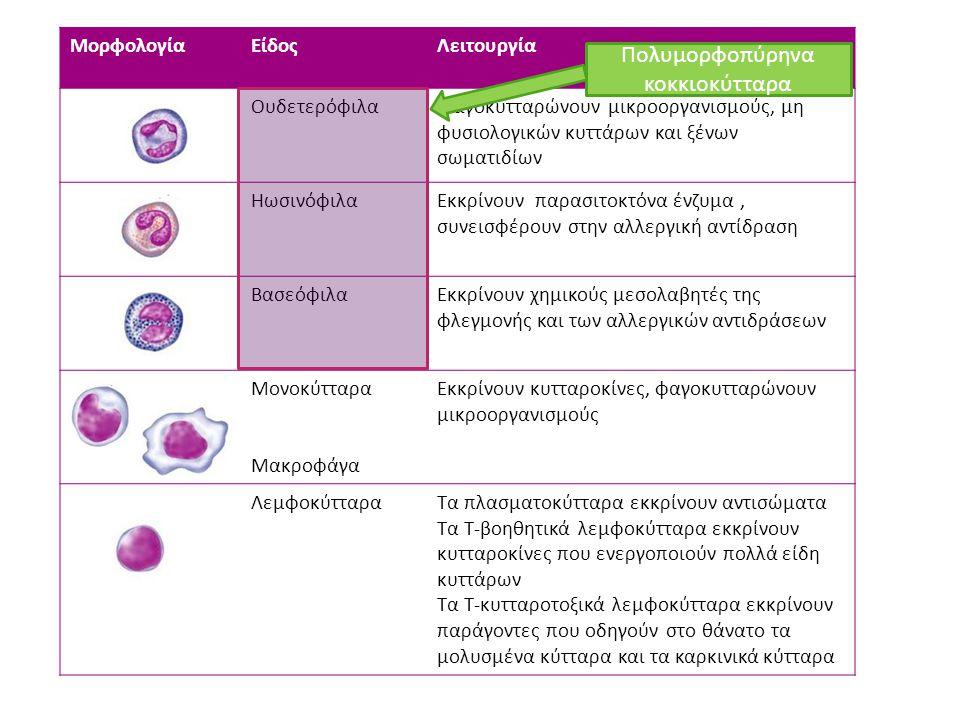 Πολυμορφοπύρηνα κοκκιοκύτταρα