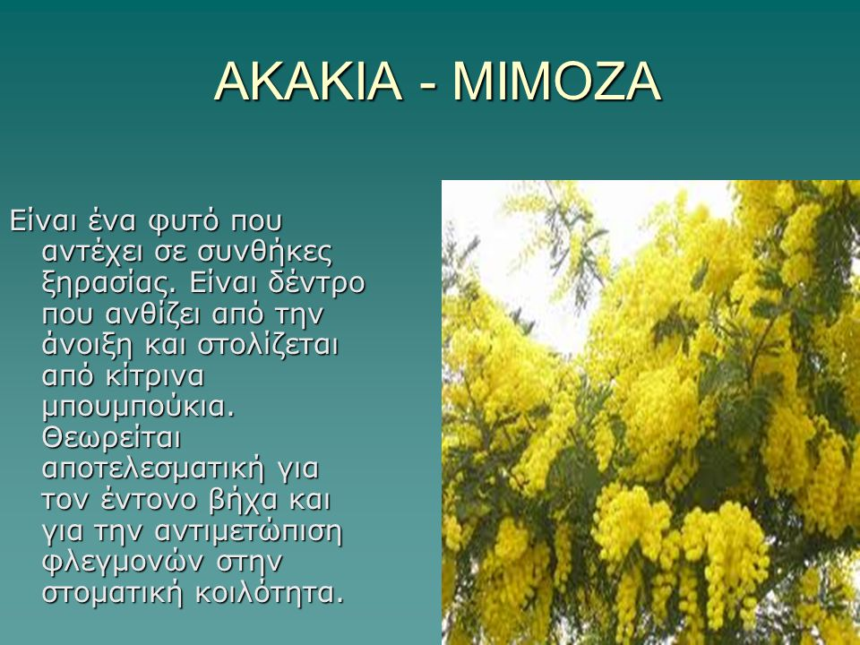 ΑΚΑΚΙΑ - ΜΙΜΟΖΑ