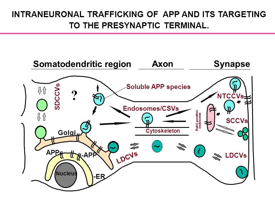Somatodendritic region Axon Synapse