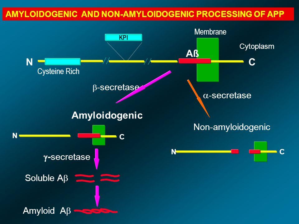 Aß N C Amyloidogenic -secretase Non-amyloidogenic -secretase